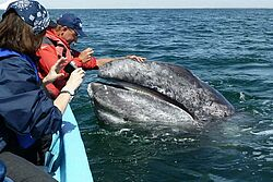 Gruppenreise, Privatreise, Baja California, Walbeobachtung, Whale Watching